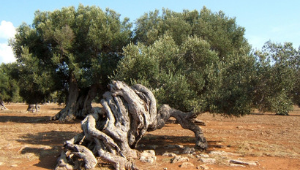 "International meeting on ""Integrated actions against Xylella Fastidiosa to protect olive trees and international trade"""
